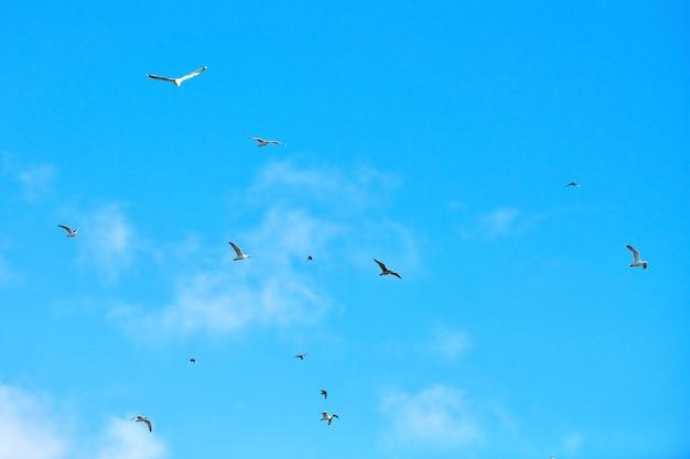 Чайки летают высоко в голубом небе с белыми пушистыми облаками. силуэты парящих белых птиц на фоне естественного неба как символ свободы, легкости и скорости. текстура неба, копия пространства.