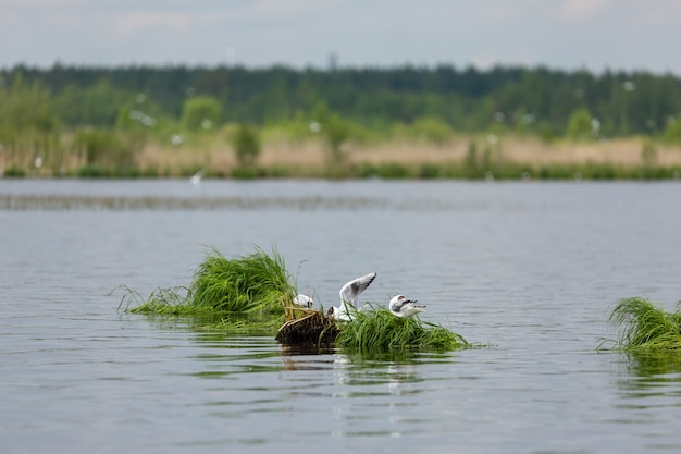 Seagulls forage in the grassy ait on the lake