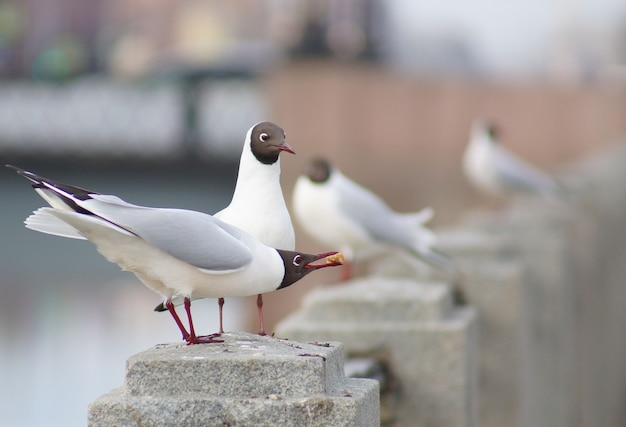 Seagulls on a granite fence of the river, one brought food for the other