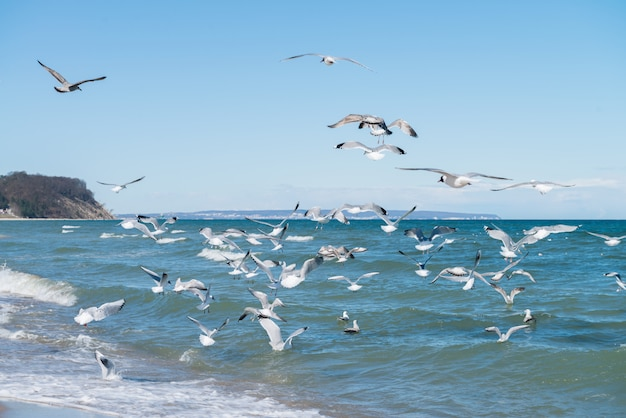 Seagulls hunt for small fish on island rugen