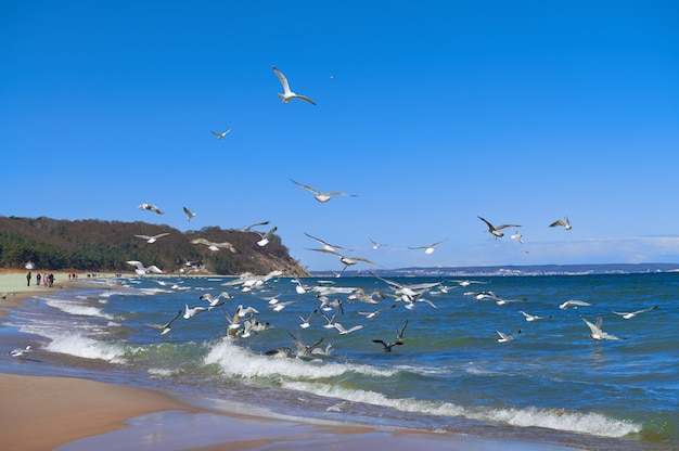 Seagulls hunt for small fish in the shallow baltic sea next to baabe village on island rugen