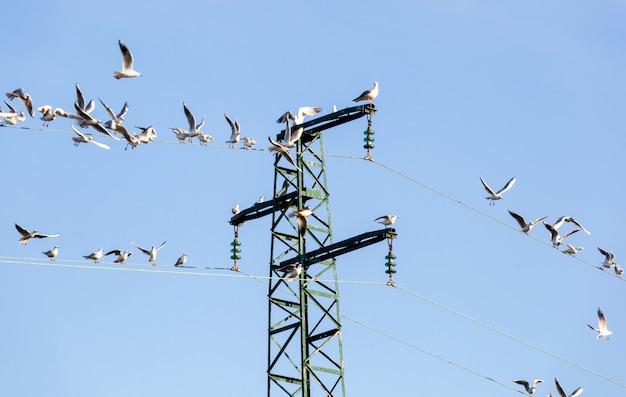 Seagulls ichthyaetus melanocephalus on an electricity pylon.