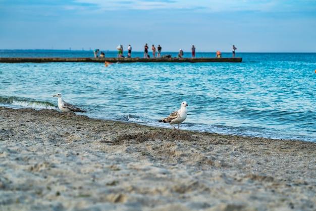 Чайки на песчаном пляже в поисках еды.