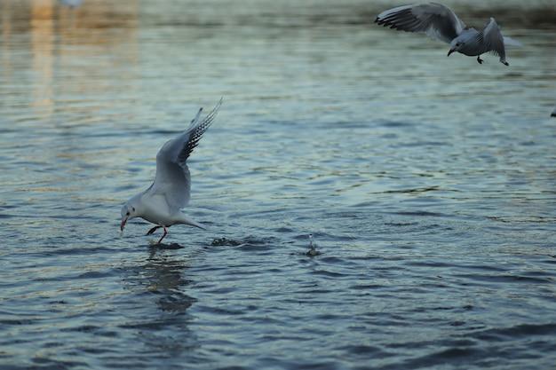 湖のカモメは晴れた日に食べ物を求めますカモメは水で遊ぶ