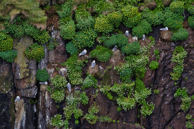 Seagulls stand on vertical wall of rocks, vegetation and native flowers of northern iceland reserve area.