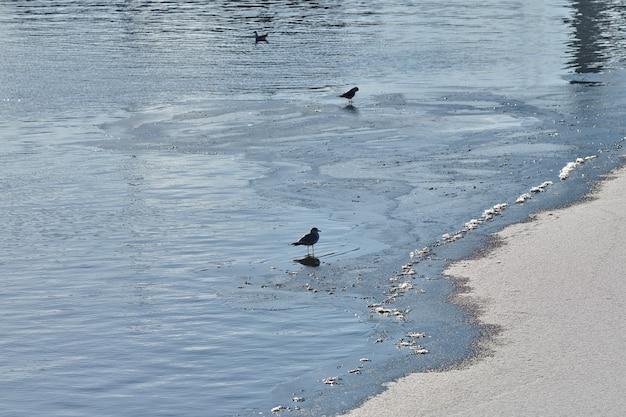 Чайки гуляют по берегу. стая черноголовых чаек, гуляющих по песчаному пляжу у голубой воды. chroicocephalus ridibundus.