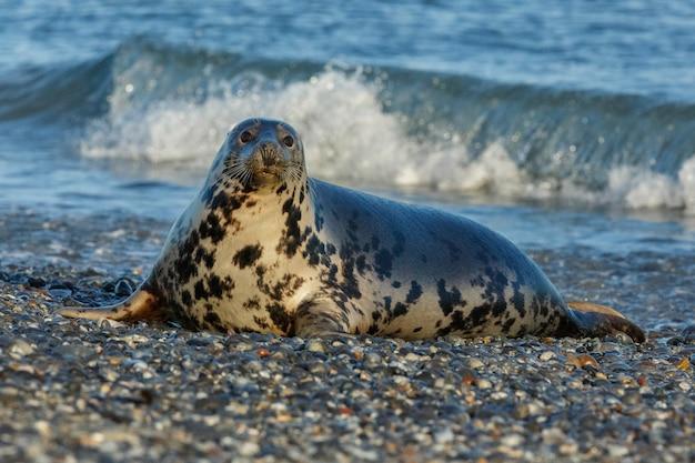 Seal on the beach on dune island near helgoland