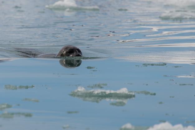 Тюлень в арктическом море