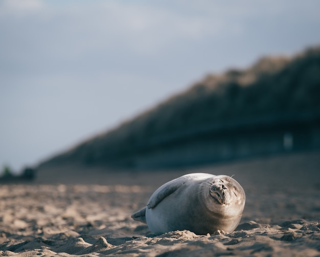 Seal lying down on the sand of the beach