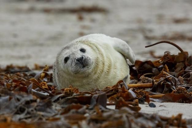 Тюлень на пляже на дюнном острове недалеко от гельголанда