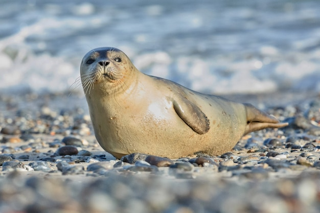 헬고 랜드 근처 모래 언덕 섬의 해변에서 물개