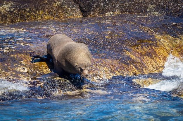 南アフリカ、ハウトベイの岩から水に飛び込む準備をしているアザラシ Premium写真