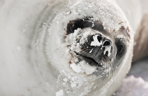 Seal with snow in natural environment