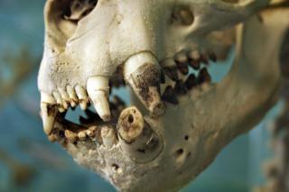 Sealion skull