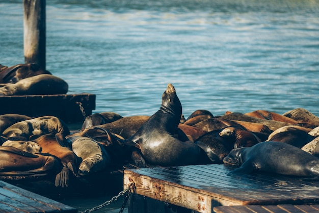 Sealions are sleeping on the wooden bridge