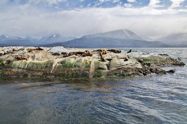 Seals on the island in beagle channel close ushuaia city, tierra del fuego, argentina