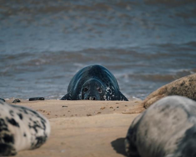 昼間はビーチの砂の上に横たわるアザラシ