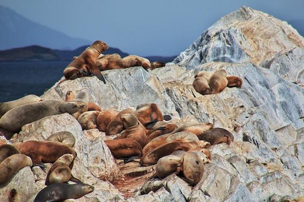 Тюлени на острове в проливе бигль недалеко от города ушуайя на огненной земле, аргентина