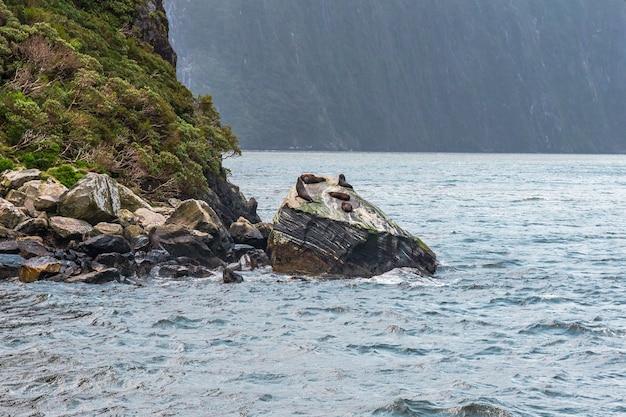 Тюлени на скалах фьордленда новой зеландии