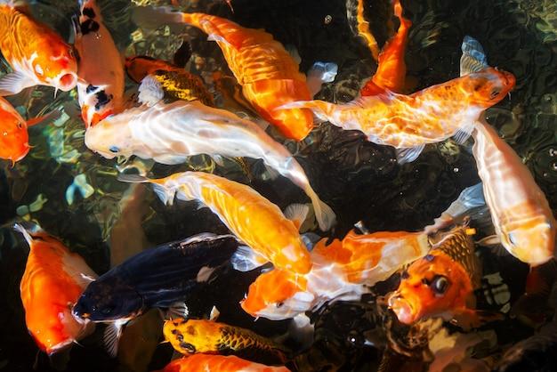 매끄러운 잉어 잉어, 연못에서 수영하는 아름다운 다채로운 잉어 물고기