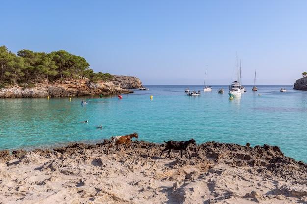 Морской вид на знаменитую бухту cala turqueta с двумя гуляющими козами на переднем плане. менорка, балеарские острова, испания
