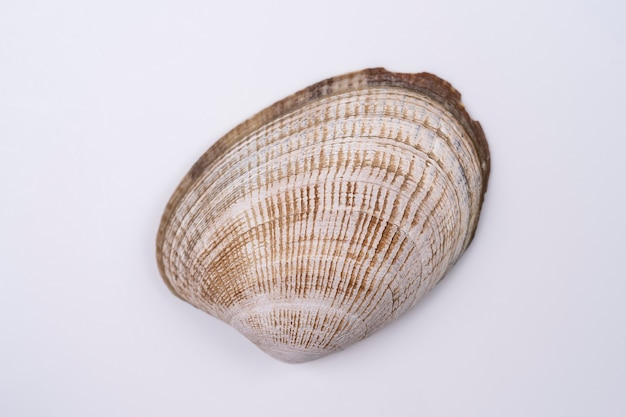 Seashell isolated on white background closeup view macro shoot of seashell with visible texture