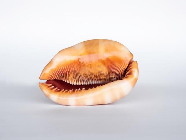 Seashell isolated on white surface. beautiful natural shape of sea shell.