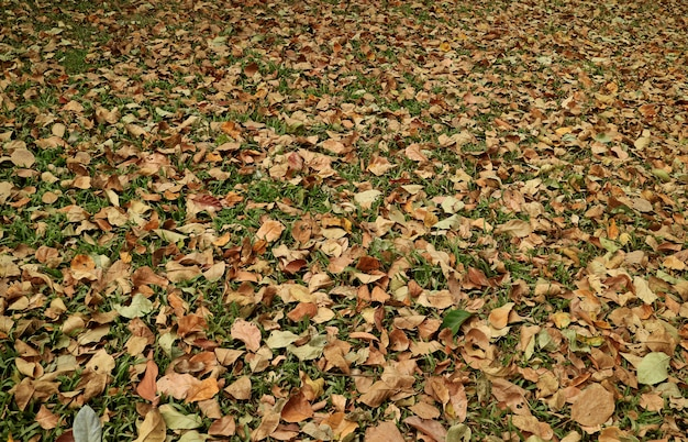 Season changing, the natural carpet of fallen leaves on the grass field for background
