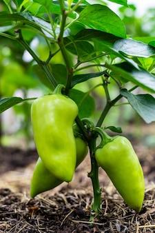 季節の収穫の概念。温室内のピーマンの緑色の大きな果実。垂直写真。