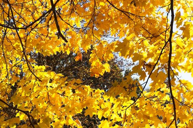 カエデの葉の季節的な黄変、晴れた秋の天気