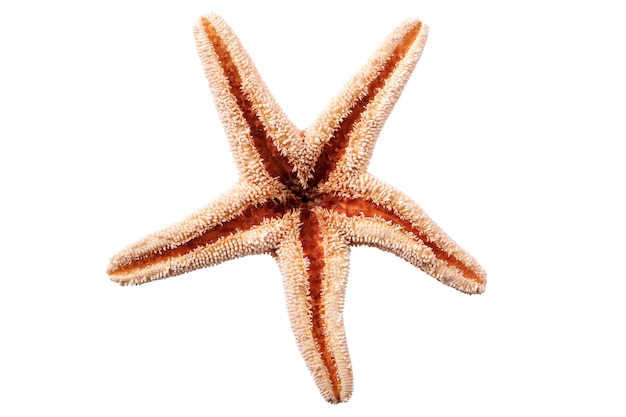 白い背景に隔離された星の魚seastar
