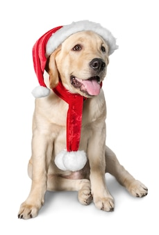 Seated labrador retriever wearing a santa hat, studio isolated