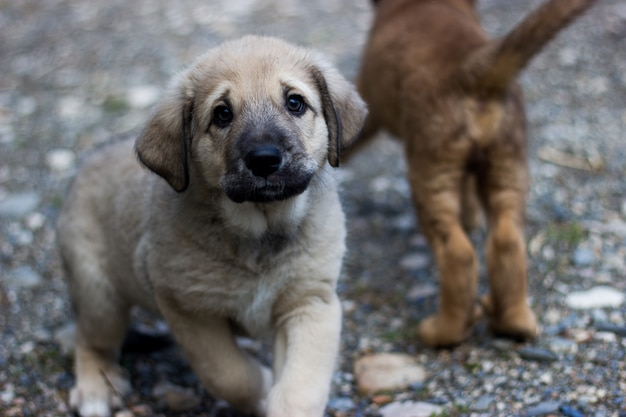 Seated spanish mastiff puppy