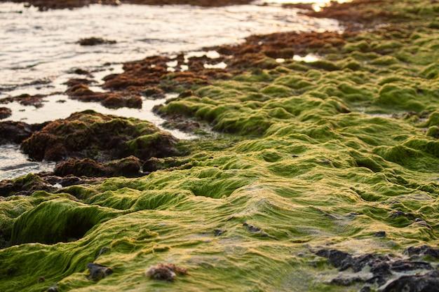 Водоросли на скалах в карибском море на закате