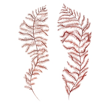 Seaweed sea life object isolated on white background. watercolor hand drawn painted illustration.
