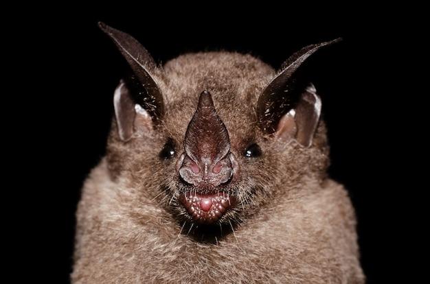 Seba의 짧은 꼬리 박쥐는 흔하고 널리 퍼진 박쥐 종입니다.
