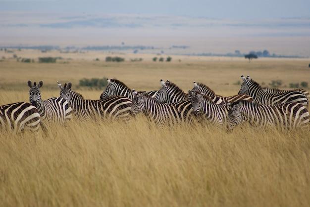 セレンゲティとマサイマラ国立公園間の脳の移動