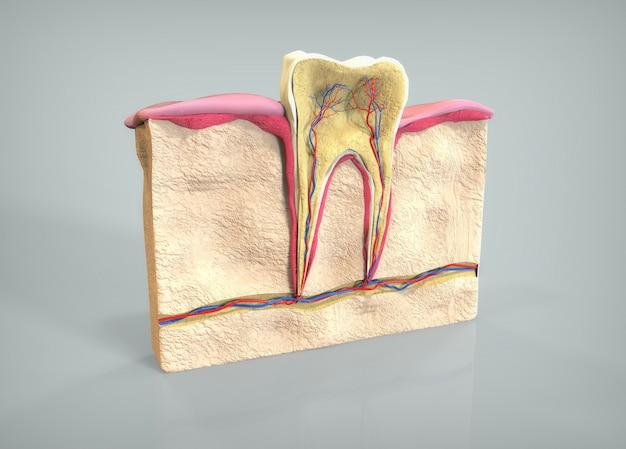 Сечение зуба
