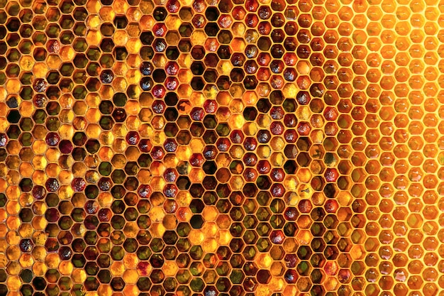Section of wax honeycomb from a bee hive filled with golden honey