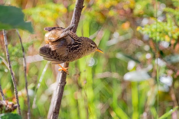 Осоковый крапивник (cistothorus platensis) готов прыгнуть с ветки дерева в парамо-де-санта-роса-де-осос