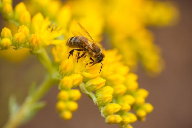Пчела собирает нектар и пыльцу с желтых цветов sedum acre, goldmoss, мшистых или кусающихся очитков,
