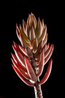 Sedum rubens succulent plant