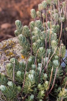 Sedum stonecrop