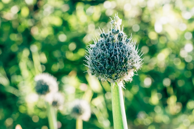 Seed heads of edible spring onion in the garden