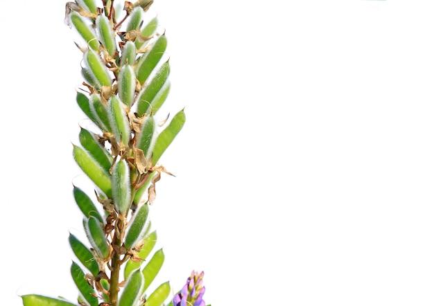 白い背景の上のルピナスの種子