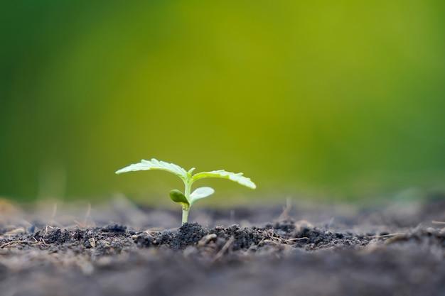 의료용 대마초 재배 및 실험