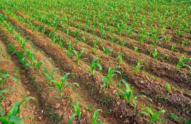 庭にトウモロコシを播種 Premium写真