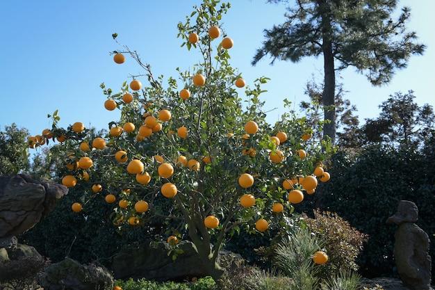 Seedless tangerine farm in jeju island, south korea