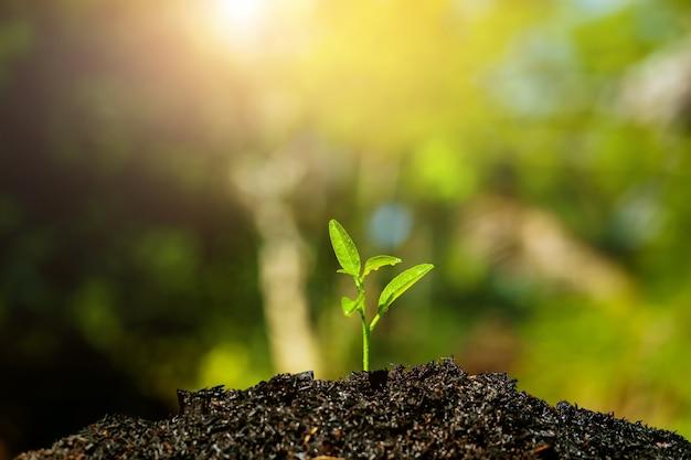 Саженцы растут в почве и при солнечном свете или закате.
