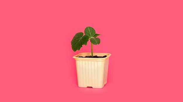 黄色い鍋に葉とキュウリの緑の芽を苗